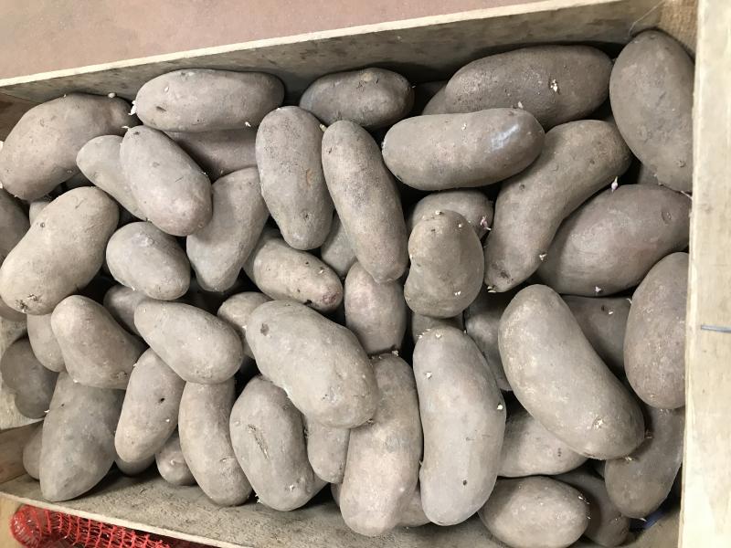 Pomme de terre charlotte ou universa pleine campagne vente de produits alimentaires secteur - Ramassage pomme de terre ...